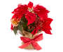 Red Berry and Gold Pinecone Poinsettia with Burlap Pot Front View Silo Image